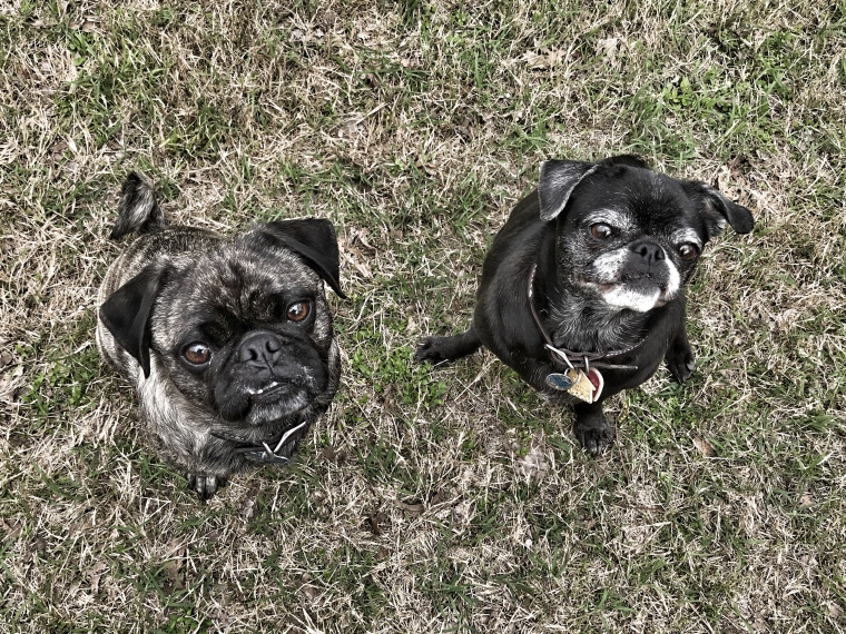 John Henry, a brindle pug-terrier mix, and Jordan, a black pug-chihuahua mix, sit like good dogs in the yard.