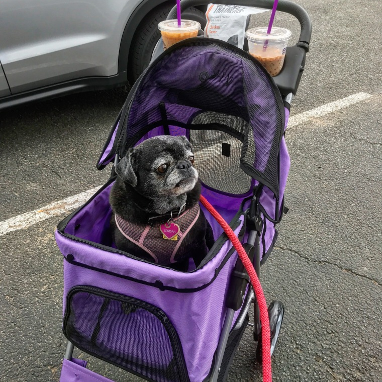 Jordan, a pug-chihuahua cross, sits in a stroller, looking regal.